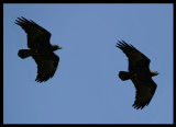 Fan-tailed Ravens - Eyn Hamran