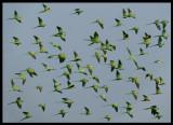 Ring-necked Parakeets- Sahnawt Farm Salalah Oman 2004