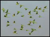 Ring-necked Parakeets - Sahnawt Farm Salalah