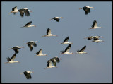 White Storks - Salalah