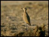 Cream-coloured Courser - Beautiful name on the most beautiful desertbird ! - Sahnawt Farm Salalah