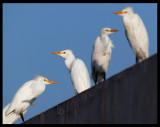 Cattle Egrets - Sahnawt Farm Salalah