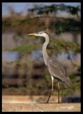 Grey Heron - Sahnawt Farm Salalah