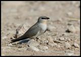Little Pratincole - Scarce wintervisitor to Oman -- Sahnawt Farm Salalah