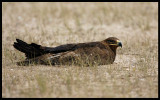 Steppe Eagel taking a rest ?? (Yes, it flew away when we approached)