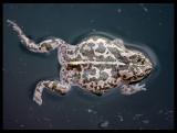 Green Toad (Bufo viridis) - Abdali Farms