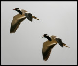 Red-wattled Lapwing - rare breeder in the Western Palearctic