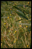 Yellow Wagtails seeking night shelter in the reed
