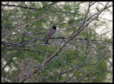 Red-vented Bulbul at Green Island