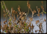 Great Reed Warbler - Green Island