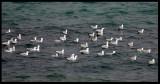 Slender-billed Gulls