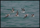 Sanderlings - soon time to leave for the arctic