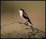 Woodchat Shrike keeping an eye above