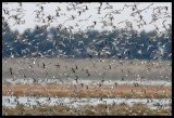 Waders gathering close to land on high tide