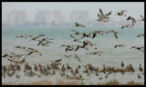 High tide with Curlews near Kuwait City