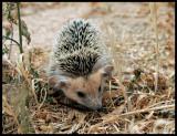 Long-eared Hedgehog (Hemiechinus auritus) - Al Abraq Oasis