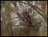 Scops Owl - Al Abraq oasis