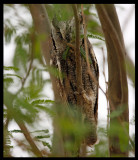 Scops Owl trying to hide (yes it is difficult to find) - Al Abraq oasis