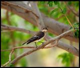 Female Semi-collared Flycatcher - Al Abraq oasis