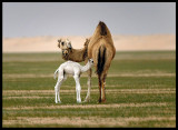 Mother and child Dromedary (Camelus dromedarius) - Western desert near Al Abraq