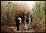 Looking for the Clamorous Reed Warbler (a needle in the haystack for some!)