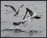 Unhappy landing -Great Black-backed Gulls
