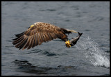 White-tailed Eagle catching fish 2