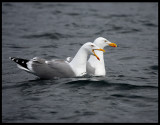 Herring Gulls - One is a female, guess who!!