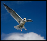 Cloud walker - Herring Gull