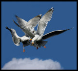 Herring Gulls fighting over some bread - Norway