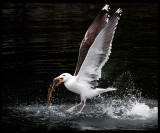 Great Black-backed Gull with a big catch