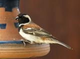 Male Cape Sparrow