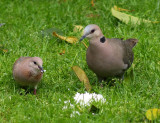 Laughing + Turtle Dove