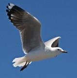 Gull9