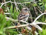 Cape Sparrow 2