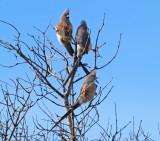 Mouse birds In Privet