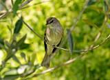 Spotted Flycarcher