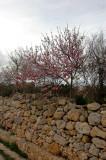 Cherry Blossoms at Ggantija