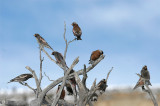 Rosy-finches 06
