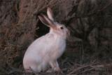 White-tailed Jack-rabbit 06