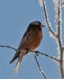 Rosy-Finch perched 07