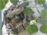 N. Saw-whet Chick in nest cavity 04