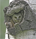 Adult N Saw-whet in nest cavity