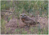Burrowing Owl on ground