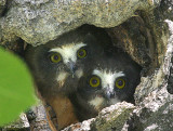 Two Saw-whet owlets close-up