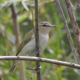 Red-eyed Vireo.jpg