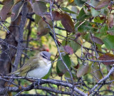 Red-eyed Vireo 2.jpg