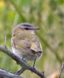 Red-eyed Vireo 1 .jpg
