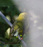 Hooded Warbler tail view
