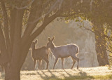 White Mule Deer Fawn